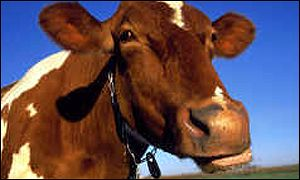 guernsey_cow300.jpg