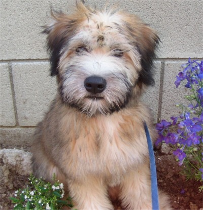 Soft Coated Wheaten Terrier New Jersey Puppies