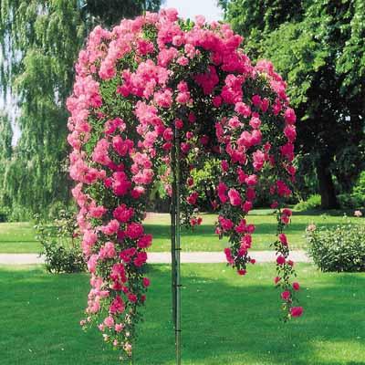 rose-tree